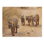 Royal Bengal Tigers on the track, Ranthambhor 8 Post Cards