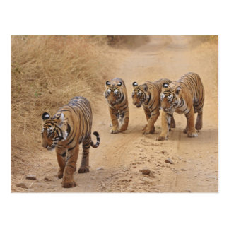 Royal Bengal Tigers on the track Ranthambhor 8 Post Cards