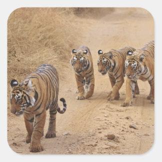 Royal Bengal Tigers on the track, Ranthambhor 8 Square Sticker