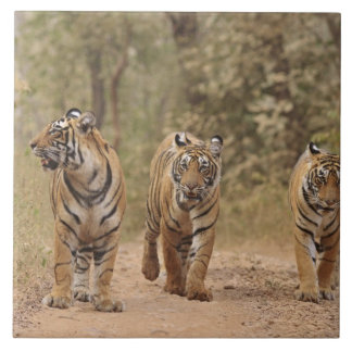 Royal Bengal Tigers on the track, Ranthambhor Ceramic Tile