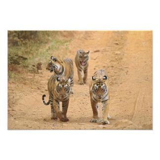 Royal Bengal Tigers on the track, Ranthambhor Photographic Print