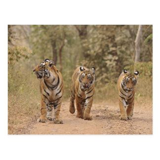 Royal Bengal Tigers on the track, Ranthambhor Postcard