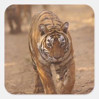 Royal Bengal Tigers on the track Ranthambhor Sticker