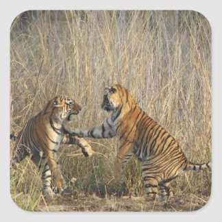 Royal Bengal Tigers play-fighting, Ranthambhor Stickers