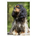 Royal Black And Tan Cavalier King Charles Spaniel Posters