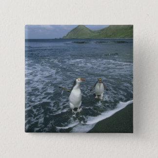 Royal Penguin, (Eudyptes schlegeli), returning Button