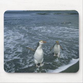 Royal Penguin, (Eudyptes schlegeli), returning Mouse Pad