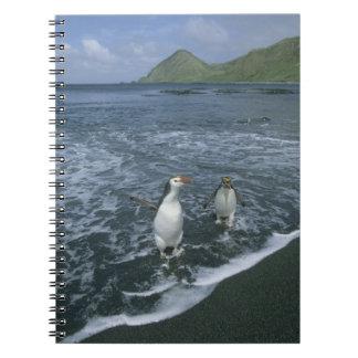 Royal Penguin, (Eudyptes schlegeli), returning Spiral Note Books