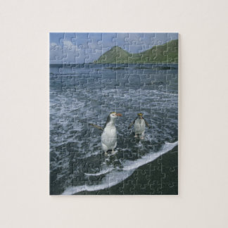Royal Penguin, (Eudyptes schlegeli), returning Jigsaw Puzzles
