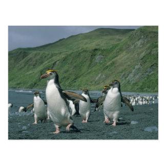 Royal Penguins (Eudyptes schlegelii) endemic, Postcard