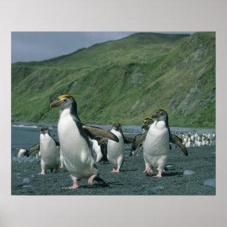 Royal Penguins (Eudyptes schlegelii) endemic, Poster
