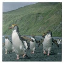Royal Penguins (Eudyptes schlegelii) endemic, Tile