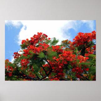 Royal Poinciana Flowering Tree Print