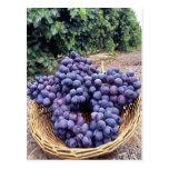 Royal Purple Grapes Post Cards