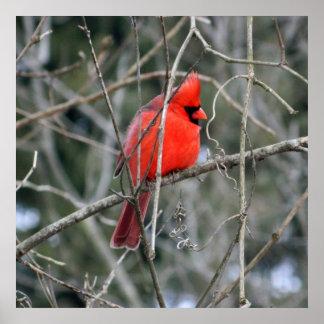Royal Red Cardinal 24x24 Poster