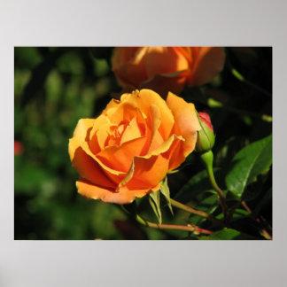 Royal Sunset Hybrid Tea Rose 016 Poster