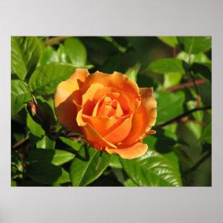 Royal Sunset Hybrid Tea Rose 018 Poster
