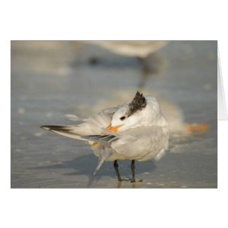 Royal Tern, Marco Island, Florida, 2010 Card