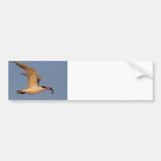 Royal Tern with Fish Bumper Sticker