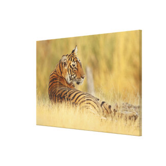 Royale Bengal Tiger sitting outside the Canvas Print