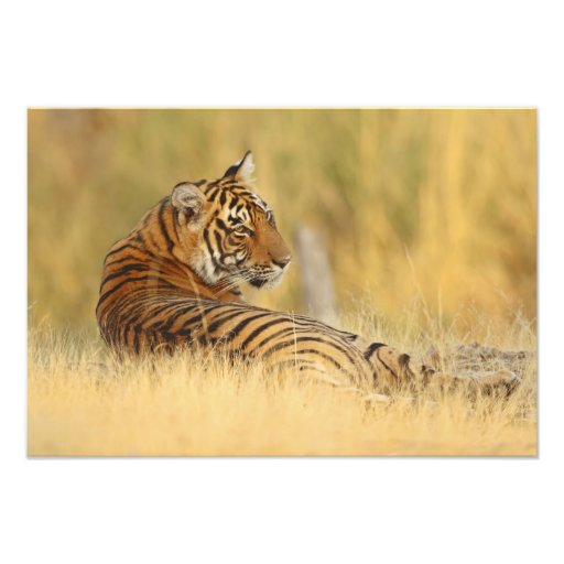 Royale Bengal Tiger sitting outside the Photo Print