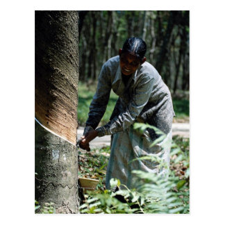 Rubber tapper at work near Ipoh, Malaysia Postcard