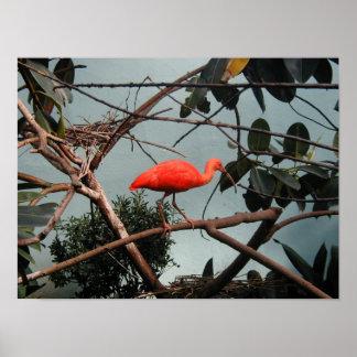 Ruber del escarlata Ibis - de Eudocimus Poster