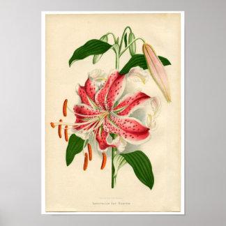 Rubrum rojo del lancifolium del lirio tigrado de póster