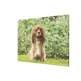 Ruby Cavalier King Charles Spaniel in the grass Canvas Print
