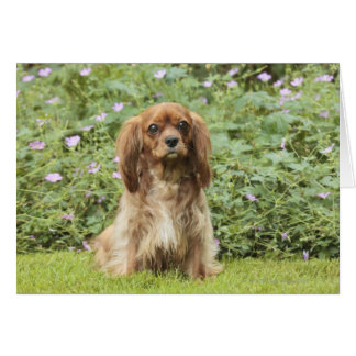 Ruby Cavalier King Charles Spaniel in the grass Card