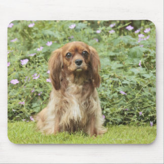 Ruby Cavalier King Charles Spaniel in the grass Mouse Pad