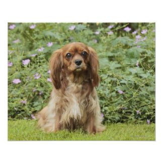 Ruby Cavalier King Charles Spaniel in the grass Poster
