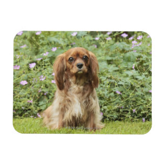 Ruby Cavalier King Charles Spaniel in the grass Rectangular Photo Magnet