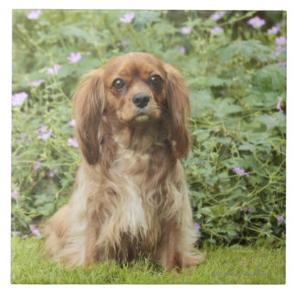 Ruby Cavalier King Charles Spaniel in the grass Tile