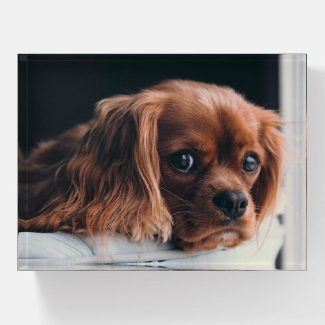 Ruby Cavalier King Charles Spaniel Paperweight