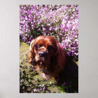 Ruby Cavalier Spaniel Print