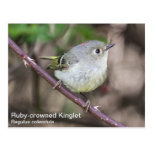 Ruby-crowned Kinglet Post Cards