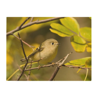 Ruby-crowned Kinglet Wood Wall Art