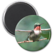 Ruby-throat Flutters Magnet