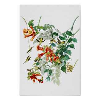 Ruby-throated Humming Bird Audubon Birds America Poster
