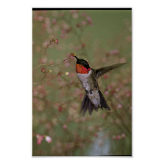 Ruby Throated Humming Bird Poster