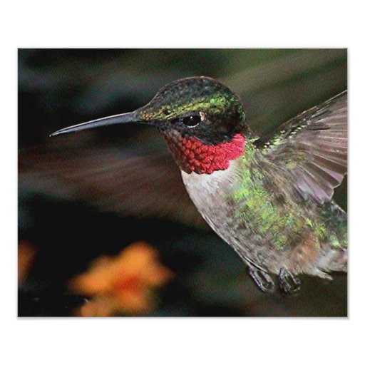 Ruby-Throated Hummingbird 2004-0247a Poster
