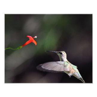 Ruby-throated hummingbird and cardinal climber photo print
