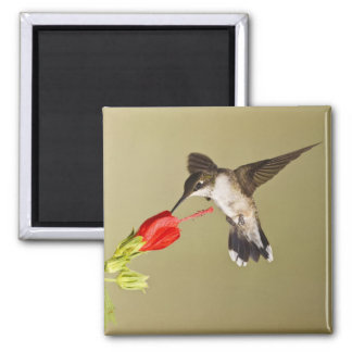 Ruby-throated Hummingbird Archilochus 2 Inch Square Magnet