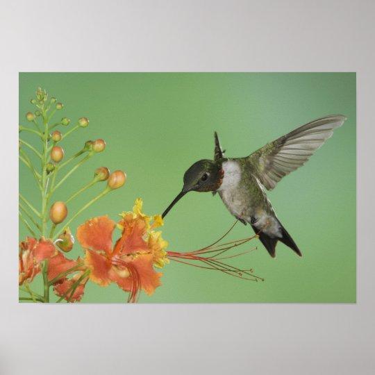 Ruby-throated Hummingbird, Archilochus 2 Poster