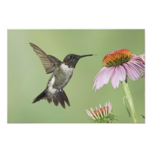 Ruby-throated Hummingbird, Archilochus 3 Photo Print