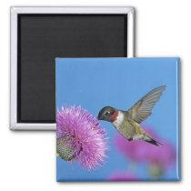 Ruby-throated Hummingbird, Archilochus 4 Magnet