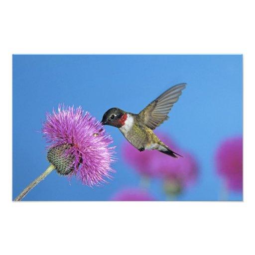 Ruby-throated Hummingbird, Archilochus 4 Photo Print