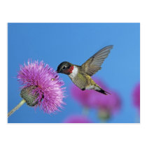 Ruby-throated Hummingbird, Archilochus 4 Postcard