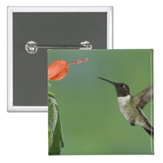 Ruby-throated Hummingbird, Archilochus Button